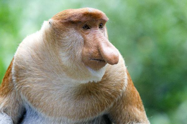 A Rare Proboscis Monkey in the Mangrove