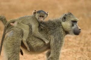 babuino_llevando_a_su_cría_en_la_espalda_600