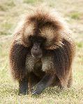 Beautiful Gelada Baboon