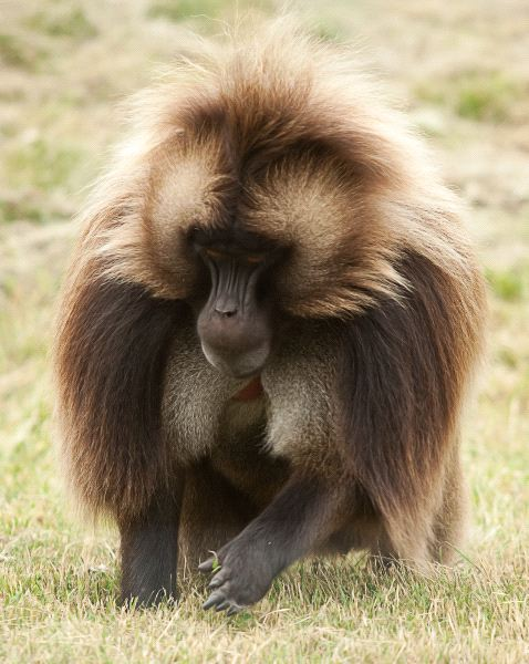 Beautiful Gelada Baboon