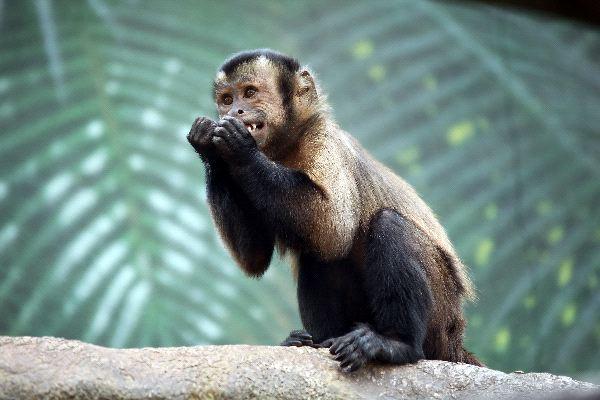 Capuchino_sobre_una_rama_600