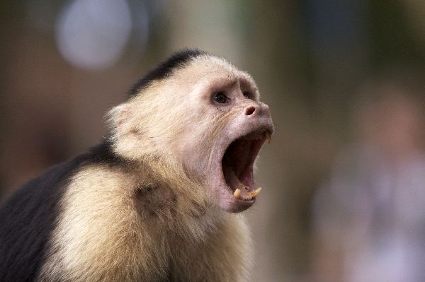Capuchin Monkey with Open Mouth