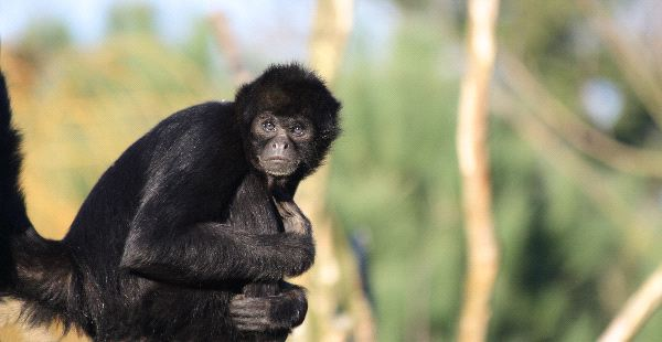 Colombian Spider Monkey - Ateles Fuscieps Robustus