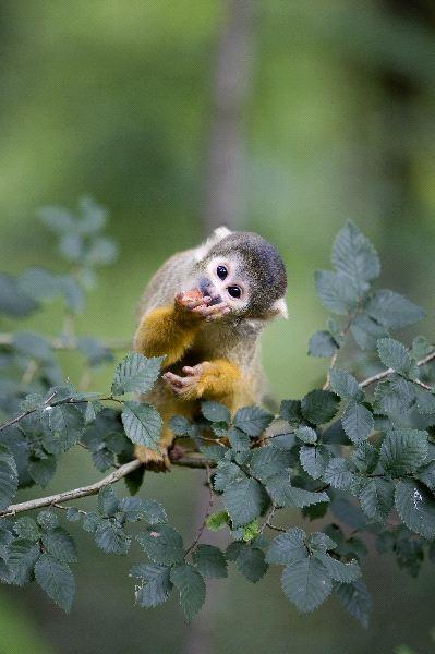 Squirrel Monkey Eating on Wild Prairie Rose