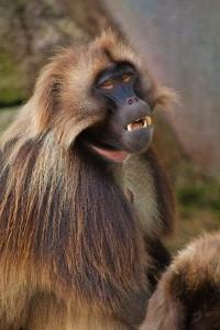 Gelada_Theropithecus_Gelada_600_imagen