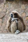 Gibbon Looking Away