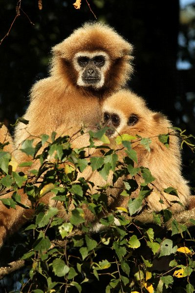 Gibbon With Infant In A Tree
