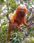 Golden Lion Tamarin Monkey In Brazilian Rainforest