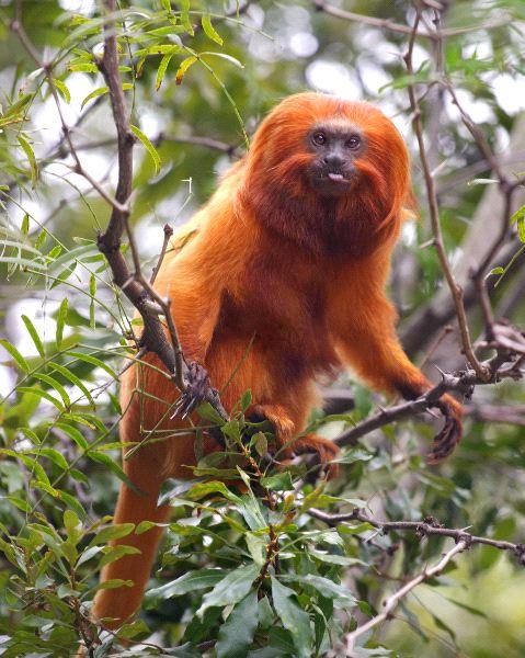 Golden Lion Tamarin Monkey In Brazilian Rainforest