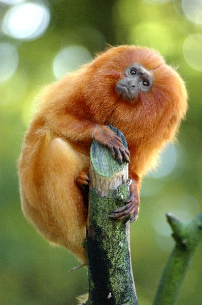 Golden Lion Tamarin With Characteristic Orange Fur