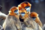 Golden Snub-Nosed Monkeys - Rhinopithecus roxellana