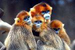 Golden Snub-Nosed Monkeys - Rhinopithecus roxellana