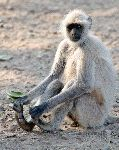 Gray o Hanuman Langur Touching His Feet