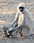 Gray o Hanuman Langur Touching His Feet