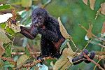 Howler Monkey Eating Leaves