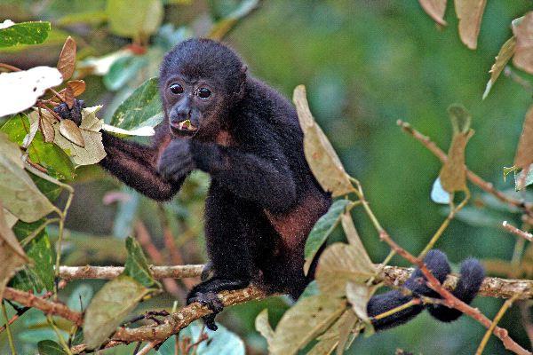 Howler Monkey Eating Leaves