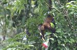 Howler Monkey In South American Forest