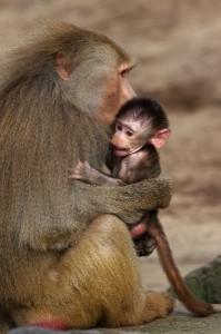 babuino_en_los_brazos_de_su_madre_600
