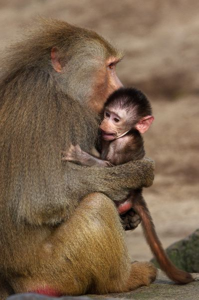 Infant Baboon In The Arms Of His Mother