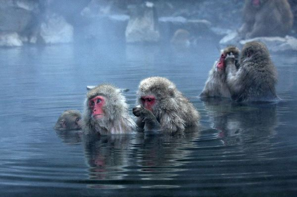 Japanese Macaque At Jigokudani Park
