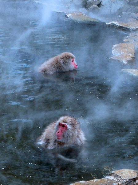 Japanese Macaque Monkeys In Hot Spring