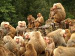 Large Baboon Tribe