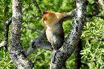 Long Nosed Proboscis Monkey On A Tree