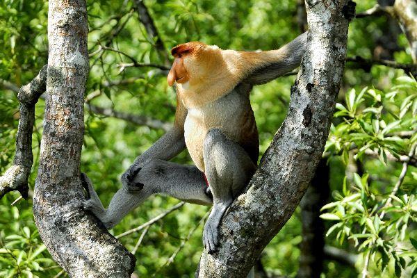 Gran_mono_narigudo_en_un_árbol_600