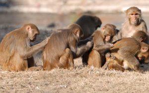 Información sobre el mono Rhesus.