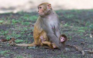 Características del macaco Rhesus.