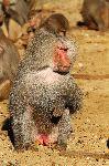 Male Baboon in Captivity