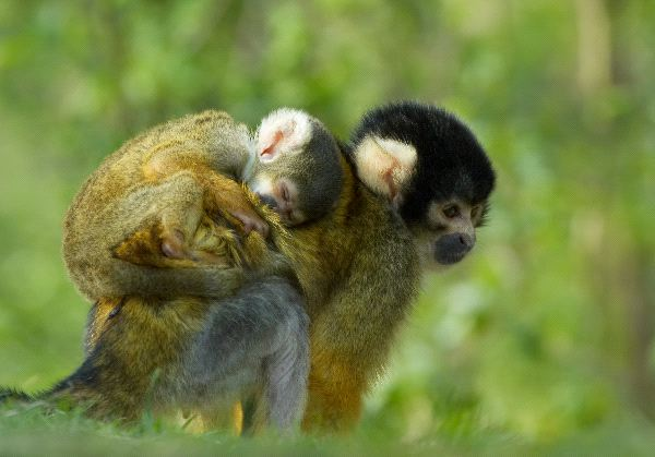 Mother And Infant Squirrel Monkey