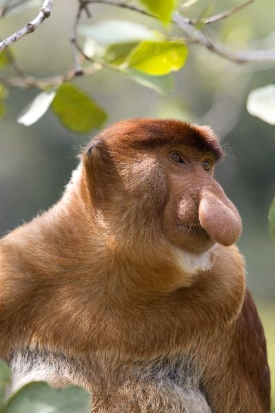 Proboscis Monkey and His Unique Nose