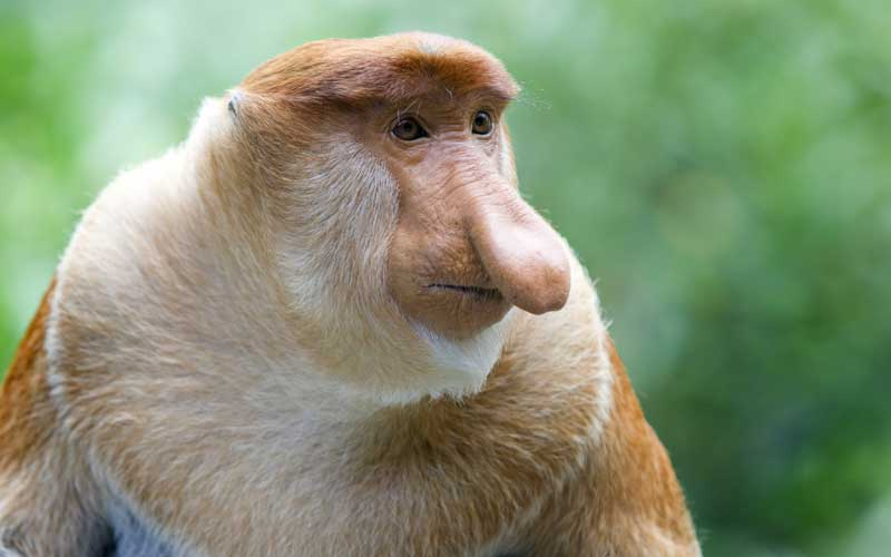 Proboscis Monkey - Monkey Facts and Information