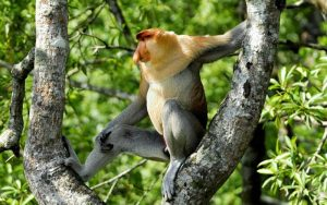 Characteristics of Proboscis monkey.