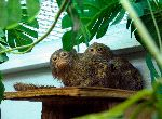 Pygmy Marmoset In Captivity