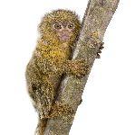 Pygmy Marmoset Infant 5 Weeks Old
