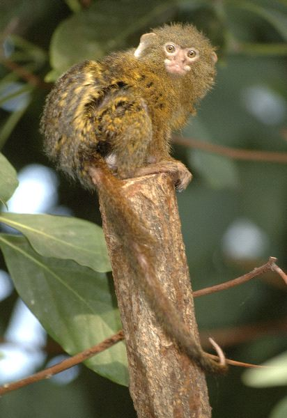 Pygmy Marmoset Posing On A Log