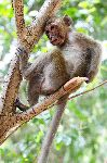 Rhesus Macaque Monkey Resting