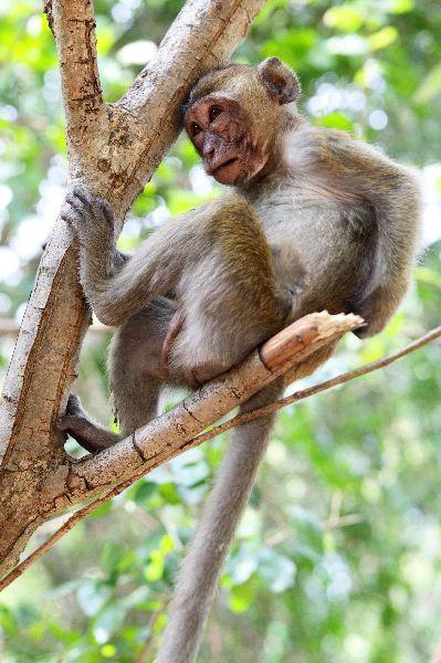 Macaco_Rhesus_descansando_en_un_árbol_600