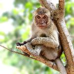 Rhesus Macaque Monkey Sitting On A Tree
