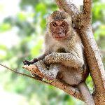 Rhesus_sentado_en_un_árbol_150
