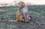 Rhesus Macaque Monkeys In Kathmandu Nepal