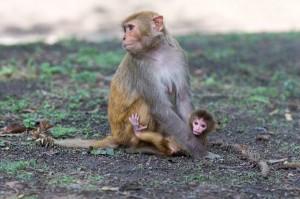 Macaco_Rhesus_en_Nepal_600