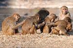 Rhesus Macaque Monkeys Scratching Backs