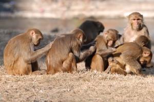 Macacos_Rhesus_aseándose__600