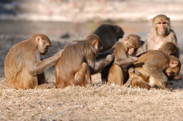 Rhesus Macaque Monkeys Scratching Backs