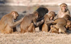 Facts about Rhesus macaque.