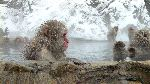 Snow Macaque Monkeys At a Hot Spring