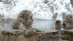 macacos_en_aguas_termales_150_foto